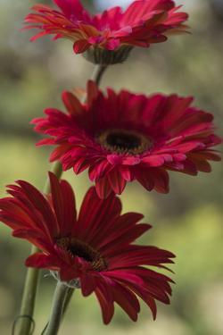 Red Gerbera by Margaret Morgan