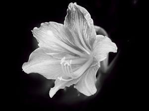 White Lilium by Margaret Morgan