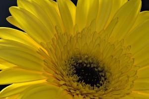 Yellow Gerbera by Margaret Morgan