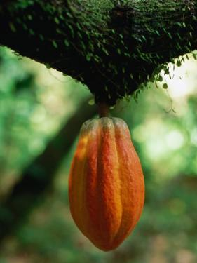 Cocoa Pod Growing on Tree, Grenada by Margie Politzer