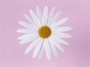 Marguerite, close up, pink background