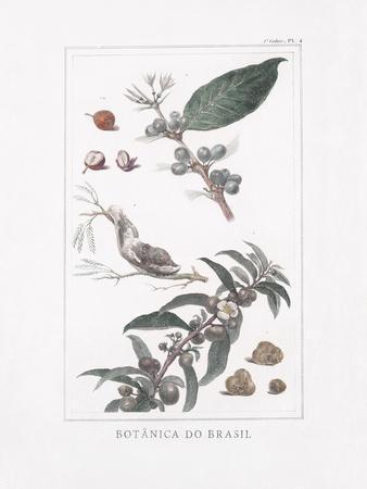 Botanica do Brasil - Baga