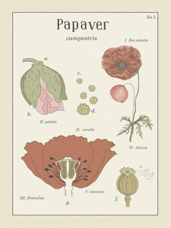 Papaver by Maria Mendez