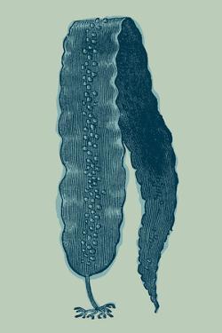 Saccharina latissima - Ocean by Maria Mendez