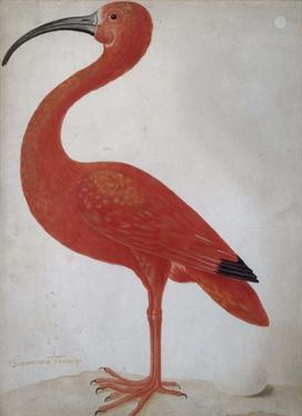 Scarlet Ibis with an Egg, 1699 - 1700 by Maria Merian