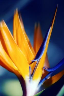Bird of Paradise (Strelitzia Reginae) by Maria Mosolova