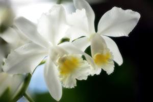 Corsage Orchid (Cattleya Hybrid) by Maria Mosolova