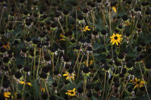 Last Blooms of a Garden Patch of Black-Eyed Susans by Maria Mosolova