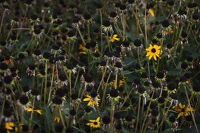 Last Blooms of a Garden Patch of Black-Eyed Susans