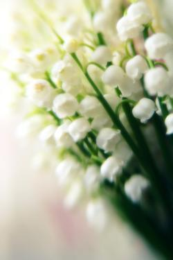 Lily of the Valley (Convallaria Majalis) by Maria Mosolova