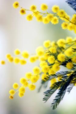 Mimosa (Acacia Dealbata) by Maria Mosolova