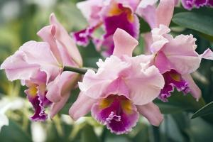 Orchid (Cattleya Sp.) by Maria Mosolova