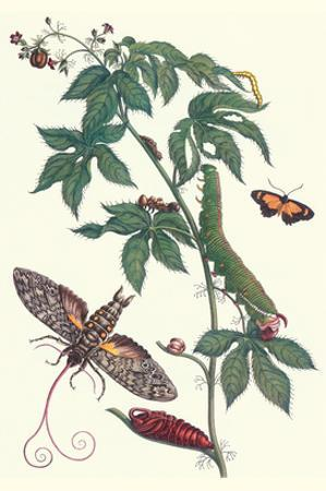 Bellyache Bush with a Giant Sphinx Moth and a Metalmark Butterfly by Maria Sibylla Merian