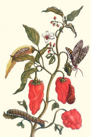 Cherry Pepper and Tobacco Hornworm with Five Spotted Hawkmoth by Maria Sibylla Merian