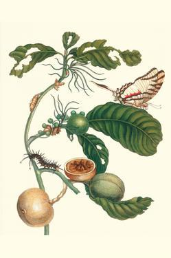Coffee Tree Leaf with a Glaucolaus Kite Swallowtail Butterfly by Maria Sibylla Merian