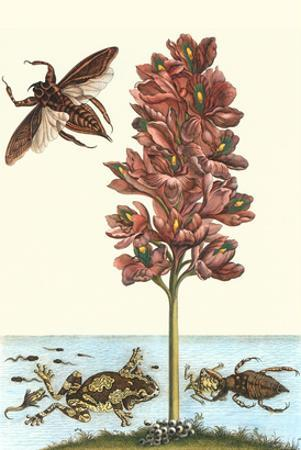 Common Water Hyacinth with a Veined Tree Frog and a Giant Water Bug by Maria Sibylla Merian