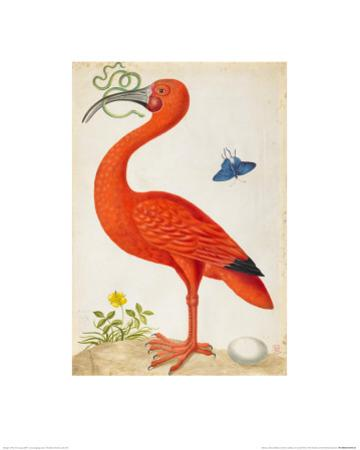 Curlew Catesby (or Scarlet Ibis) by Maria Sibylla Merian