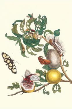 Fruiting Guava and Stinging Caterpillar by Maria Sibylla Merian