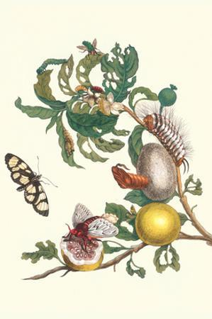Fruiting Guava and Stinging Caterpillar
