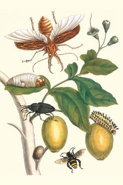 Genip Tree with Palm Weevil, a Long Horned Beetle and an Orchid Bee by Maria Sibylla Merian