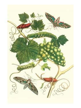 Grapevine with Vine Sphinx by Maria Sibylla Merian