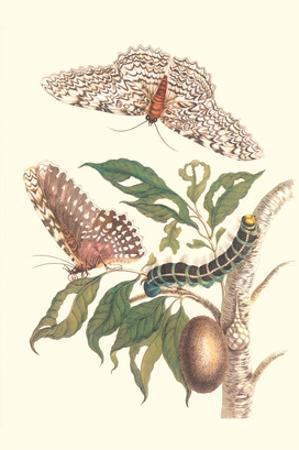 Limbo Tree with Owlet Moth by Maria Sibylla Merian
