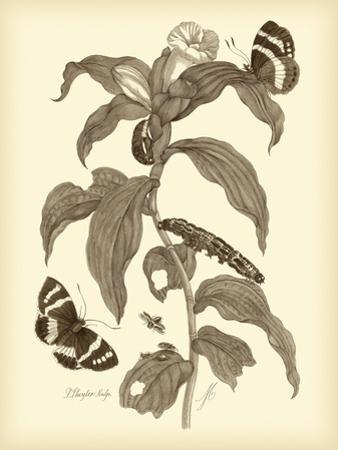 Nature Study in Sepia I by Maria Sibylla Merian