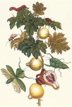 Nipple Fruit with a Leaf Mantus by Maria Sibylla Merian