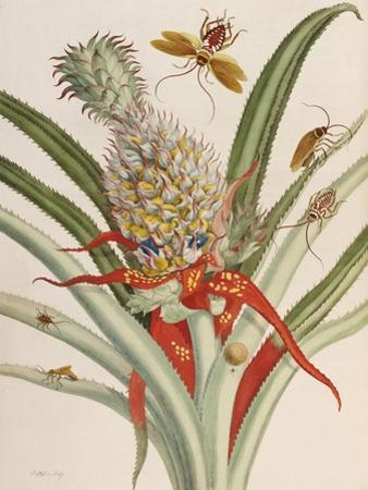 Pineapple (Ananas) with Surinam Insects by Maria Sibylla Merian