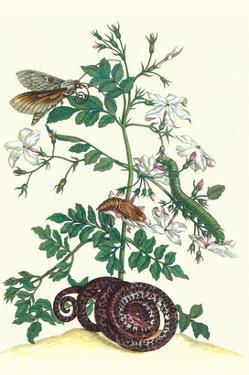 Royal Jasmine with an Amazon Tree Boa and an Ello Sphinx Moth by Maria Sibylla Merian