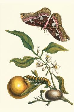 Seville Orange with a Golden Rothschild Butterfly by Maria Sibylla Merian