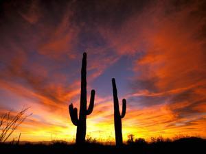 Saguaro Cactus at Sunset, Sonoran Desert, Arizona, USA by Marilyn Parver