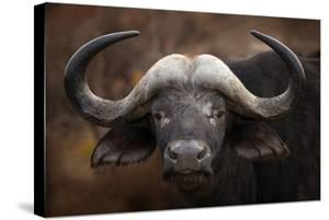 A Buffalo Portrait by Mario Moreno