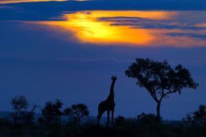 A Giraffe At Sunset by Mario Moreno
