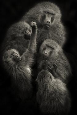 "Baboons ""United"" by Mario Moreno"