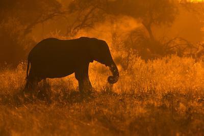 Golden Elephant in Savute