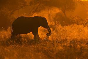 Golden Elephant in Savute by Mario Moreno