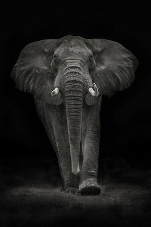 Ngorongoro Bull
