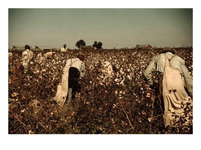 African American Day Laborers Picking Cotton Near Clarksdale, Mississippi, November 1939