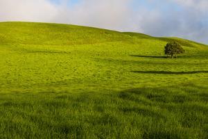 A lone tree on lush pasture land, Waimea, Big Island, Hawaii by Mark A Johnson