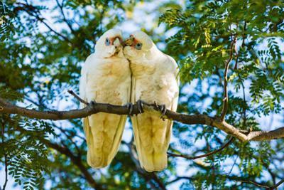 A pair of Little Corellas parrots, Australia by Mark A Johnson