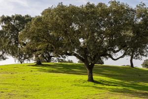 Cork trees in grassy field outside Evora, Portugal by Mark A Johnson