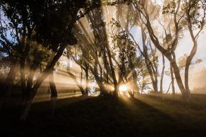 Sunbeams shine through fog in rain forest, Kokee, Kauai, Hawaii by Mark A Johnson