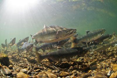 Underwater view of spawning salmon, Sitka, Alaska by Mark A Johnson