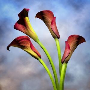 Cala Lily 6 by Mark Ashkenazi