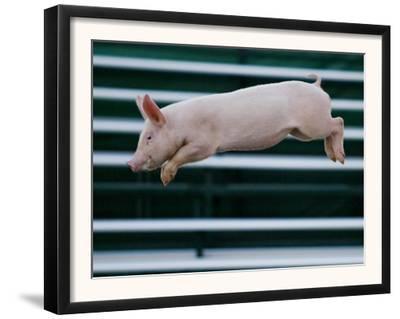 Beauty a 20-Week-Old Pig Flies Through the Air