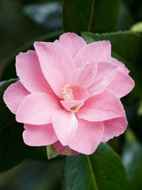 Camellia x williamsii 'Billie McCaskell' by Mark Bolton