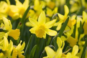 February Gold Narcissus by Mark Bolton