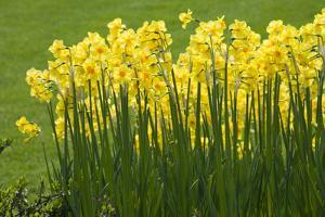 Yellow Martinette Narcissus by Mark Bolton