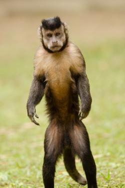 Black Capuchin, (Sapajus Nigritus) Female Standing on Hind Legs, Rio De Janeiro, Brazil by Mark Bowler